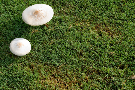 be wet: Two Mushrooms growing along side of a golf course. Grass wet with morning dew. Sure to be a temptation for some golfers