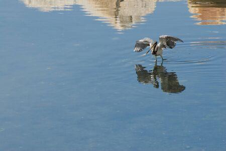 wadding: Heron wadding is pond along rocky shore Stock Photo