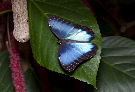 bamboo leaf: Blue Morpho Butterfly (Morpho peleides) resting on a bamboo leaf. Also known as Peleides Blue Morpho, Common Morpho, or The Emperor. Blue Morpho are an iridescent tropical butterfly species. Stock Photo