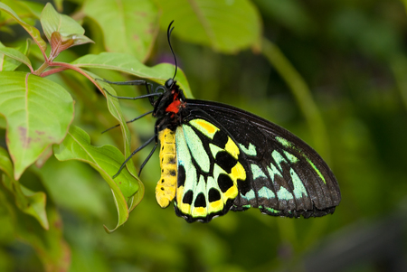 ButterflyCloseup Common Birdwing (Troides helena) is a beautiful and large butterfly belonging to the Swallowtail (Papilionidae family).Closeup of a Common Birdwing butterfly (Troides helena) pollinating a flower and feeding on the nectar. The Birdwing is Stock Photo