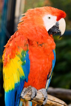 scarlet: Closeup of Scarlet Macaw (Ara macao)