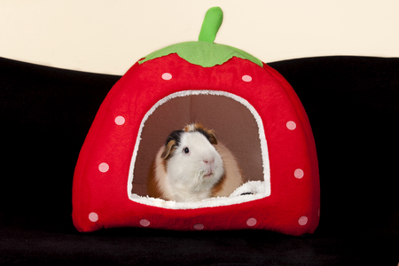 distinctive: Adult male American Guinea Pig in a strawberry house