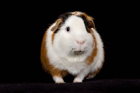 distinctive: Adult male American Guinea Pig on a black background