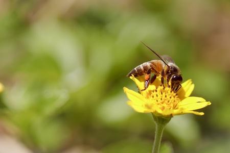 Bee und kleinen Sonnenblumen Standard-Bild