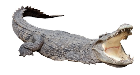 Asian crocodile in relax acting with isolate background. photo