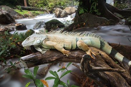 Iguana to sleep in the waterfall photo