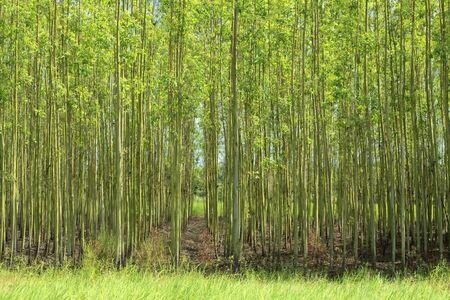 envoronment: Agriculture of paper tree (Eucalyptus gum).