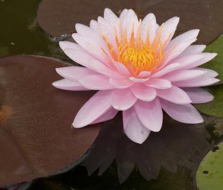 refle: Pink lotus with beautiful refle.