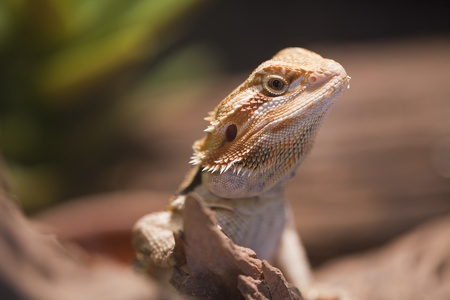 Bearded dragon on the wood. Stock Photo - 11262898