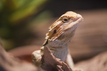 Bearded dragon on the wood. Stock Photo - 11262898