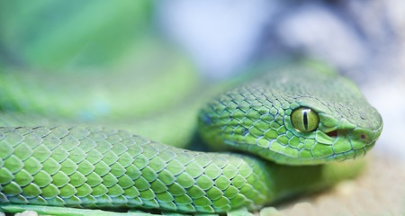 Big eyed pit viper (green viper). Stock Photo - 11262896