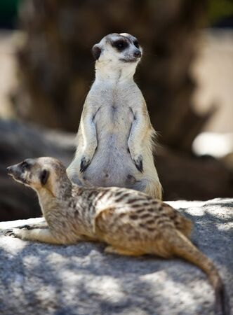 mongoose: Two cute meerkats standing or sit guard on top of a rock.