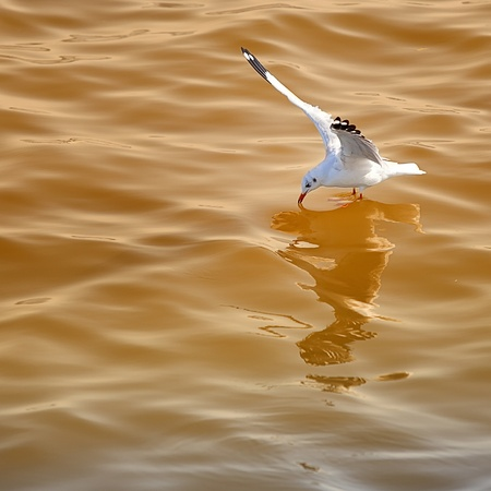 hover: Seagull hover to the sea with orange light from sunset. Stock Photo