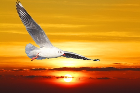 gaviota: Gaviota flotar entre la puesta y el cielo de color naranja.