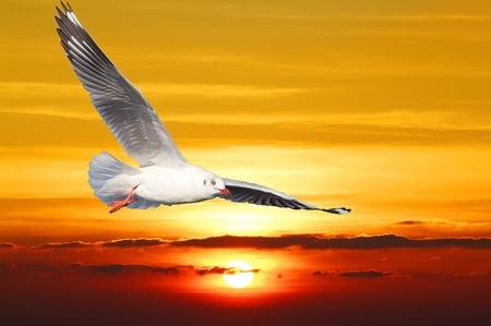 dieren: Seagull hover tussen zonsondergang en oranje hemel.