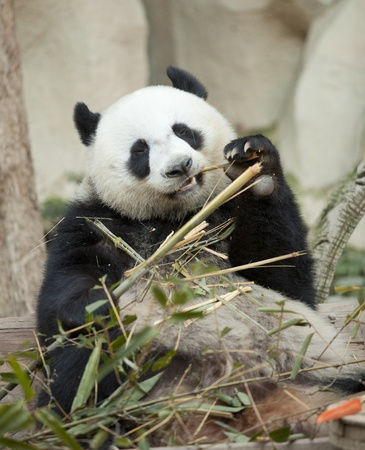 panda bear: Panda siting and eating bamboo