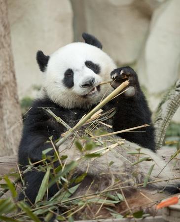 oso blanco: Panda ubicación y comiendo bambú Foto de archivo