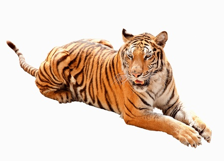wild asia: Asia tiger the icon of Malaysia country in the isolate background Stock Photo