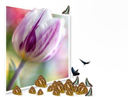 Frame of nature with butterfly and Tulip. Stock Photo - 12160678