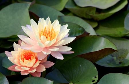 lirio acuatico: Loto rosa se acumulan en el parque verde.