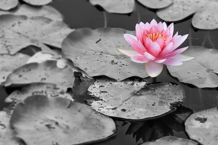 Purple lotus in the nature with black and white background. Stock Photo - 12160686