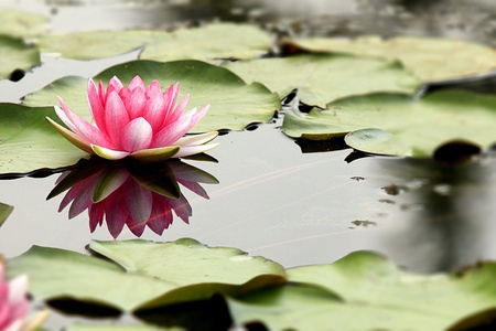 buddhist temple: Pink lotus with reflex in clear water.