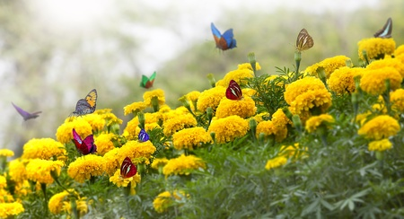 Marigold Yellow Flower with butterfly and moring light. photo