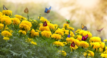 Marigold Yellow Flower with butterfly and moring light. Stock Photo - 12430617