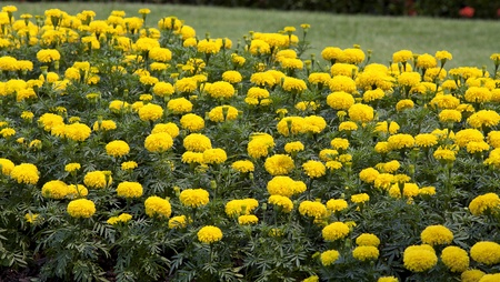 Marigold Yellow Flower field in the green garden. photo