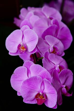 Beautiful pink color orchid with block background  photo