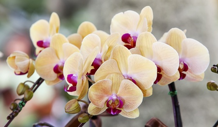 lila: Thai royal ochid with yellow and violet color