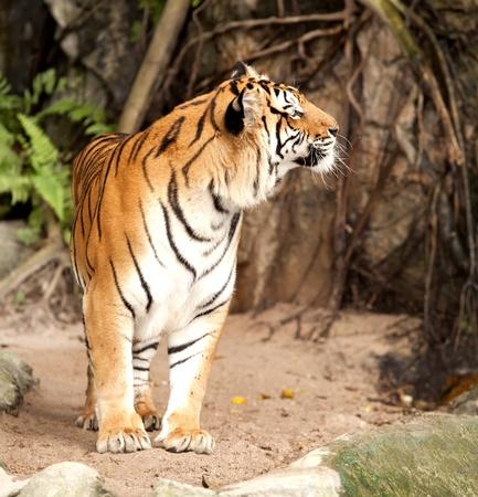 panthera tigris: Portrait of a Royal Bengal tiger alert and staring at the camera