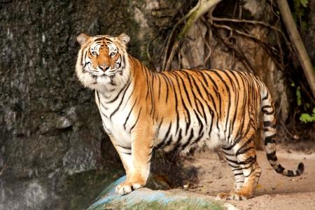 tigresa: Retrato de un tigre real de Bengala alerta y mirando a la cámara Foto de archivo
