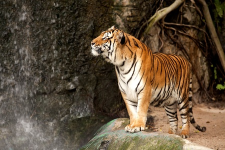 tigris: Portrait of a Royal Bengal tiger alert and staring at the camera