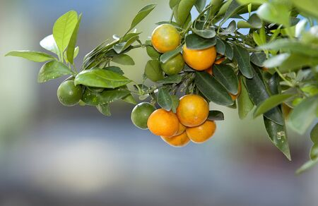 Small orange, asia people use for eat and use plating for lucky.