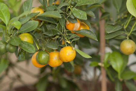 citrus tree: Small orange, asia people use for eat and use plating for lucky.