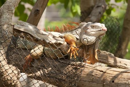 Orange iguana sleep on the wood branch  photo