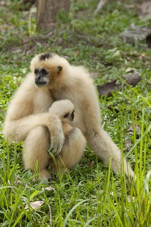 hominid: White gibbons and his motherin the green nature