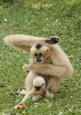gibbon: White gibbons and his motherin the green nature