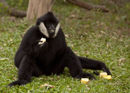 hominid: Black gibbons between eating in the green nature