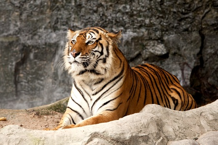 Portrait of a Royal Bengal tiger alert and staring at the camera  photo