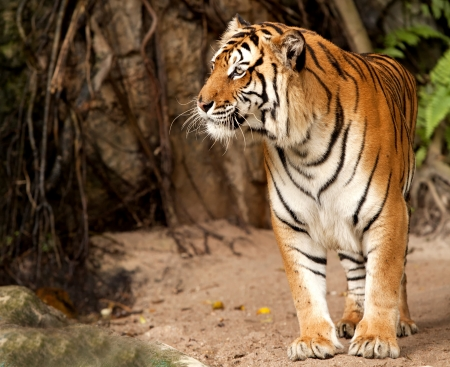 cat tiger: Portrait of a Royal Bengal tiger alert and staring at the camera