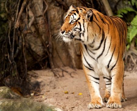 Retrato de un tigre real de Bengala alerta y mirando a la cámara Foto de archivo