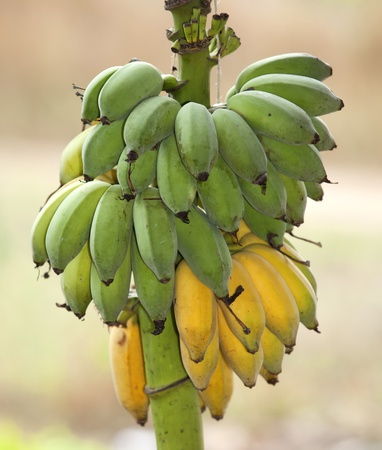 Bunch of ripening bananas on the lop. photo