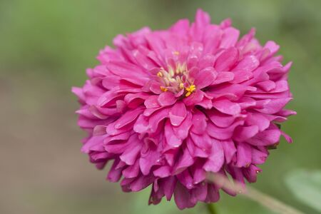 seem: Zinnias seem especially favored by butterflies, and many gardeners add zinnias specifically to attract them. Stock Photo