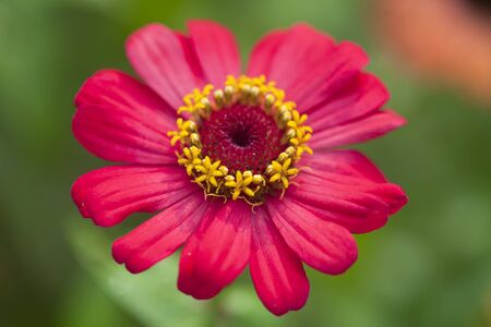 specifically: Zinnias seem especially favored by butterflies, and many gardeners add zinnias specifically to attract them. Stock Photo