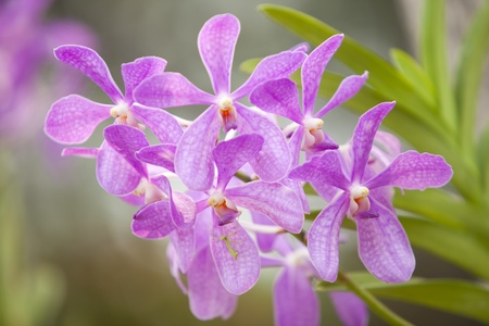 A stem of purple colored orchids in a green outdoor park  The flower is known as Purple Ascocentrum, which is a hybrid cultivar of the Vanda Tessellata   photo