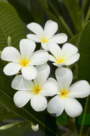 frangipanis: white and yellow frangipani flowers with leaves in background