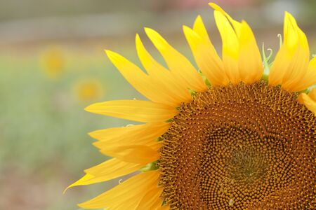 beautiful sunflower with green leaves and background. photo