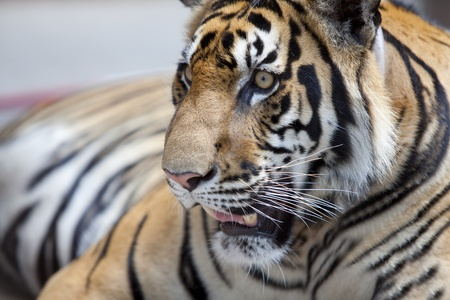 close up of a tiger Stock Photo - 13425264
